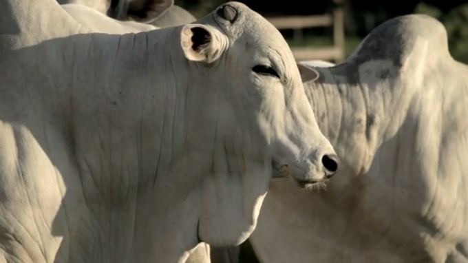 MGR-4000. Praticidade e tecnologia na pesagem de gado.